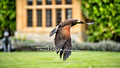 Le Manoir Birds Of Prey