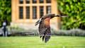 Le Manoir Birds Of Prey